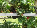 B&B-aardbeienplant_1